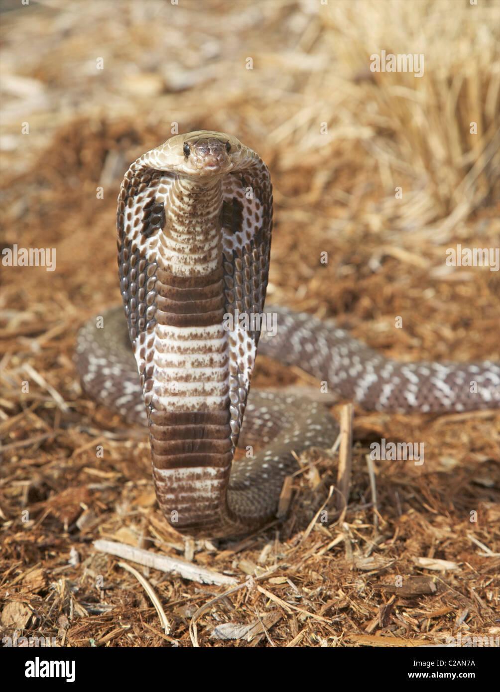 Una alerta o indio oso cobra (Naja naja) Foto de stock