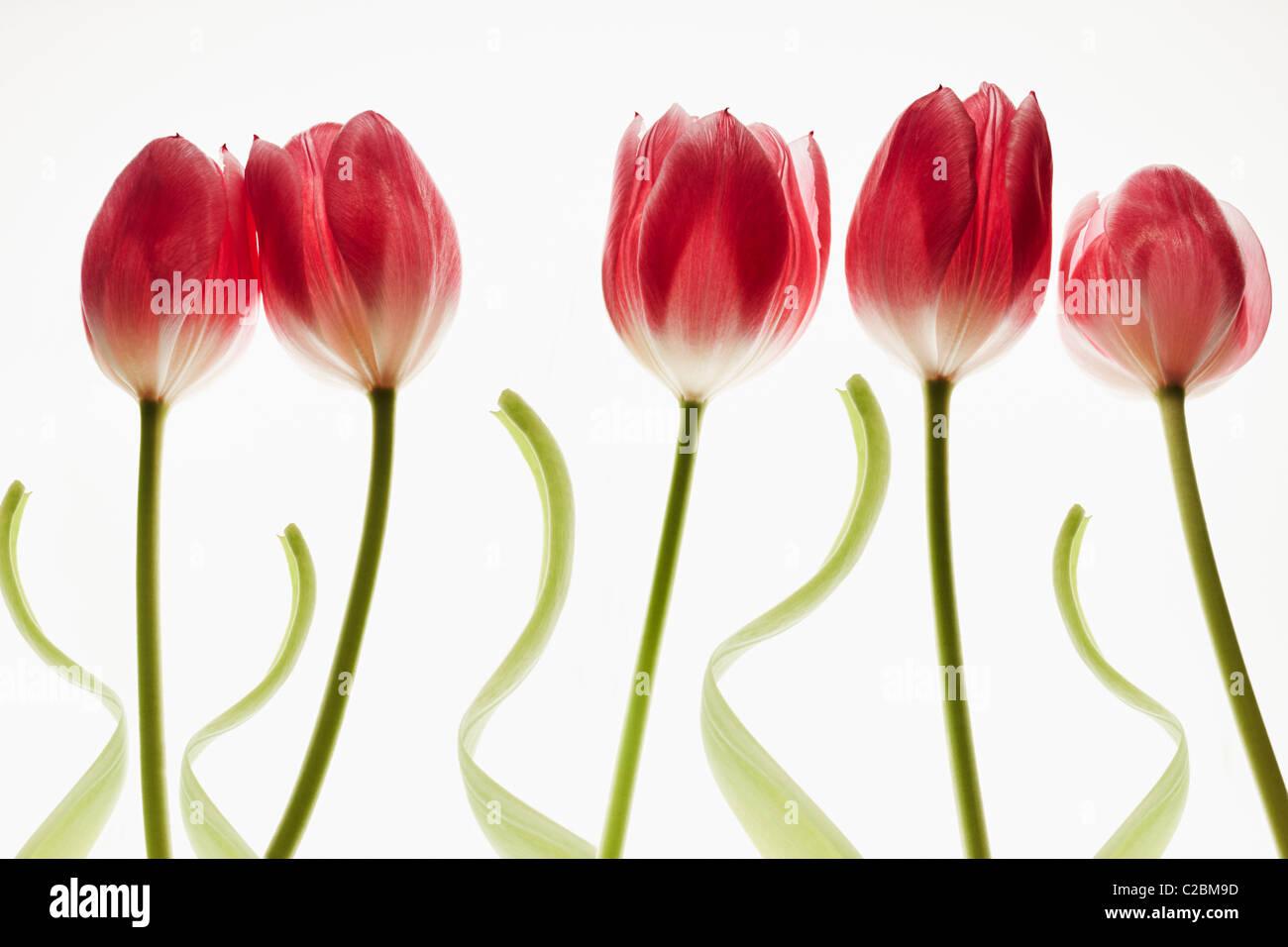 Cinco tulipanes rojos sobre un fondo blanco. Imagen De Stock