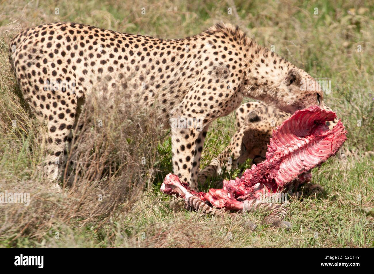 Fotografía De Stock De Un Guepardo Comiendo Un Cadáver De