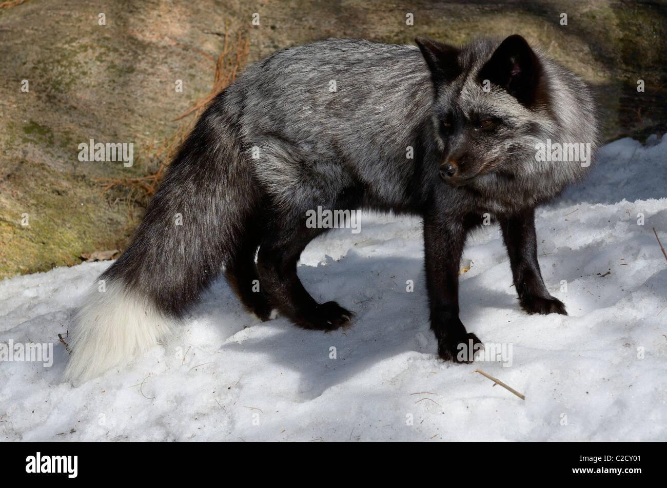 Hermoso color rojo zorro con pelaje negro y plata marcas en un bosque cubierto de nieve en la primavera de Muskoka Imagen De Stock