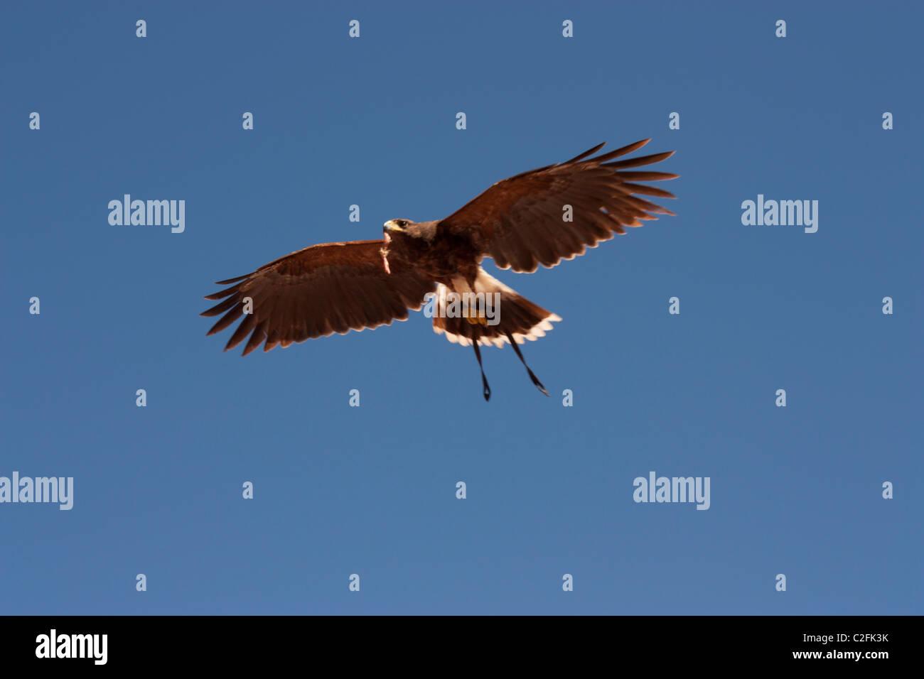 Brown Eagle Imágenes De Stock & Brown Eagle Fotos De Stock - Alamy