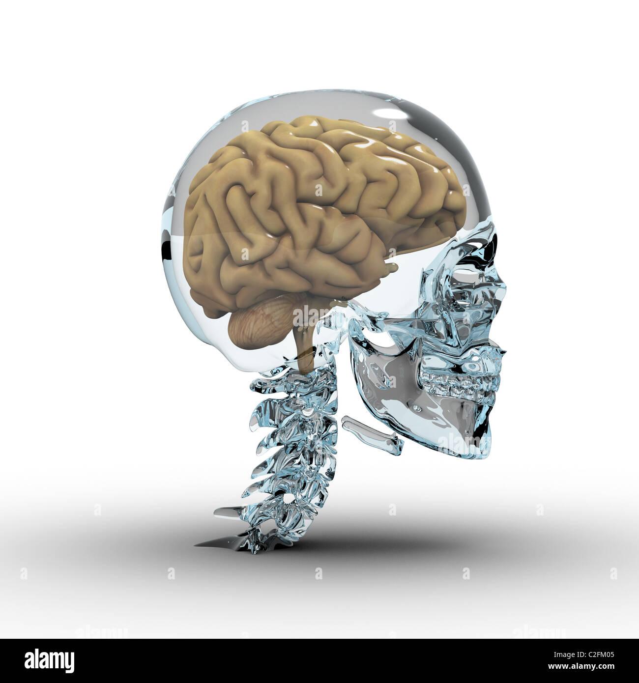 Cráneo de cristal con el cerebro. Imagen De Stock