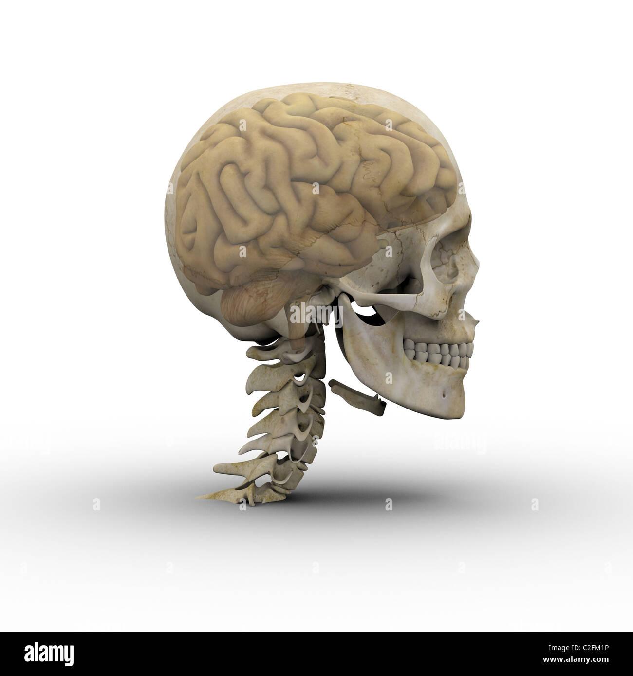 Cráneo con cerebro masculino mostrando a través del cráneo transparente. Imagen De Stock