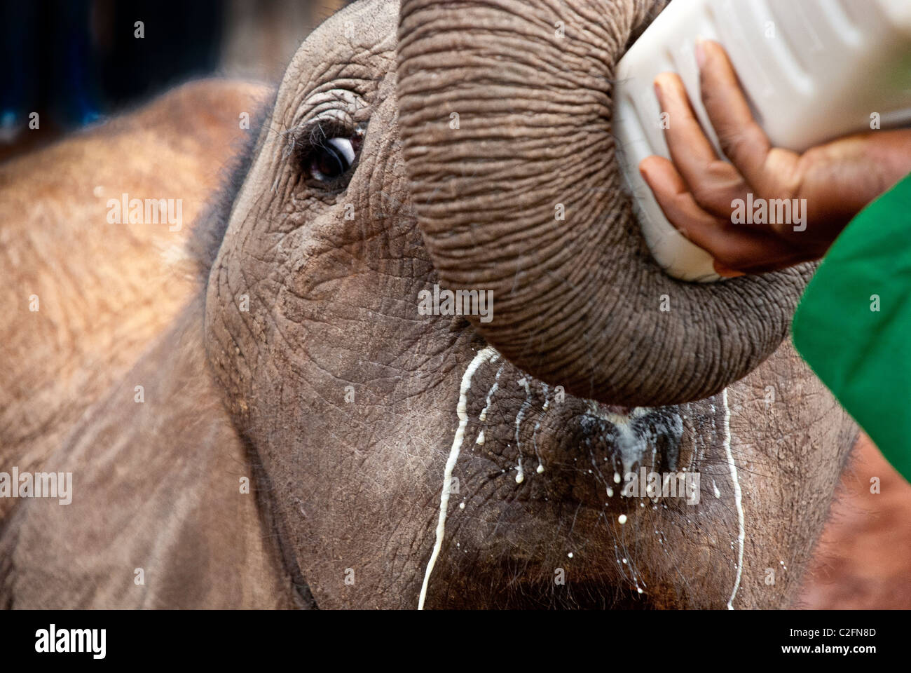 Ternero el elefante africano, Loxodonta africana, beber leche de un biberón, el Orfanato de Elefantes Sheldrick, Imagen De Stock