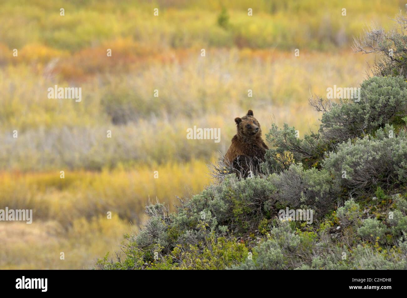 Grizzly Bear paisaje Foto de stock