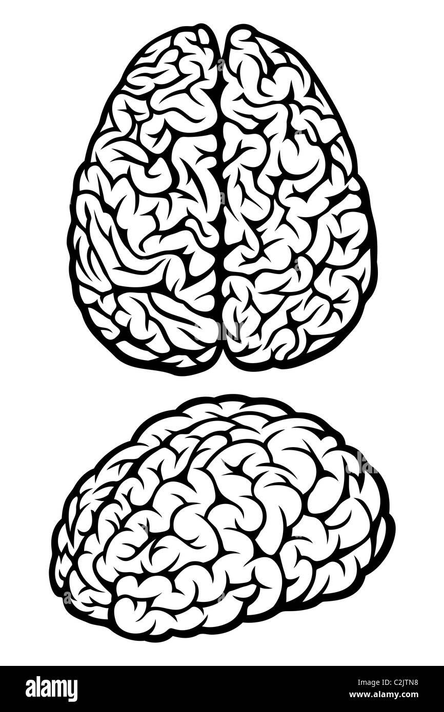 Cerebro Imagen De Stock