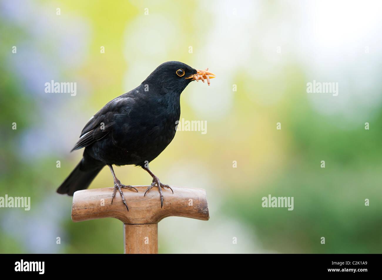 Blackbird con gusanos en una horquilla manejar Imagen De Stock