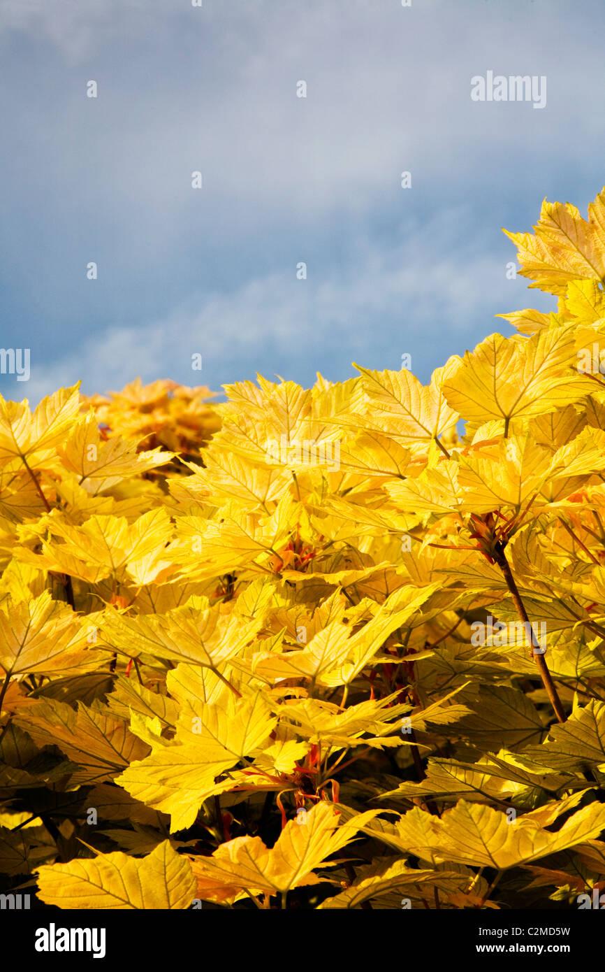 Hojas de arce amarillo Imagen De Stock