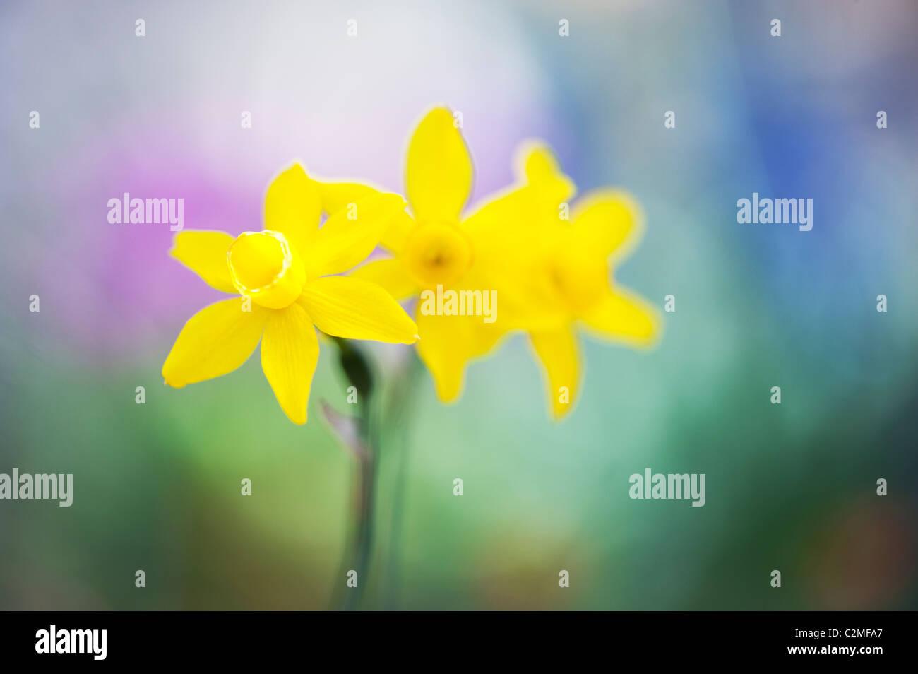 Narcissus assoanus. Narcisos Miniatura flores. Resumen Foto de stock