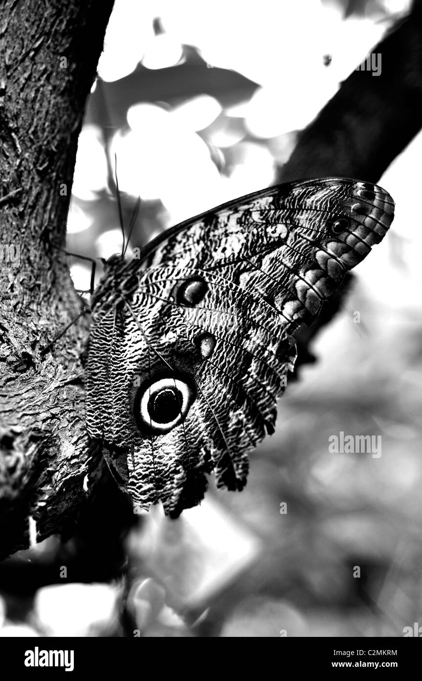 Mariposa búho (Caligo) Foto de stock
