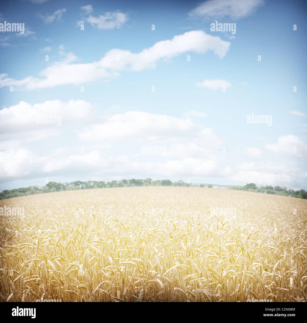 Campo de trigo y cielo azul. Imagen De Stock