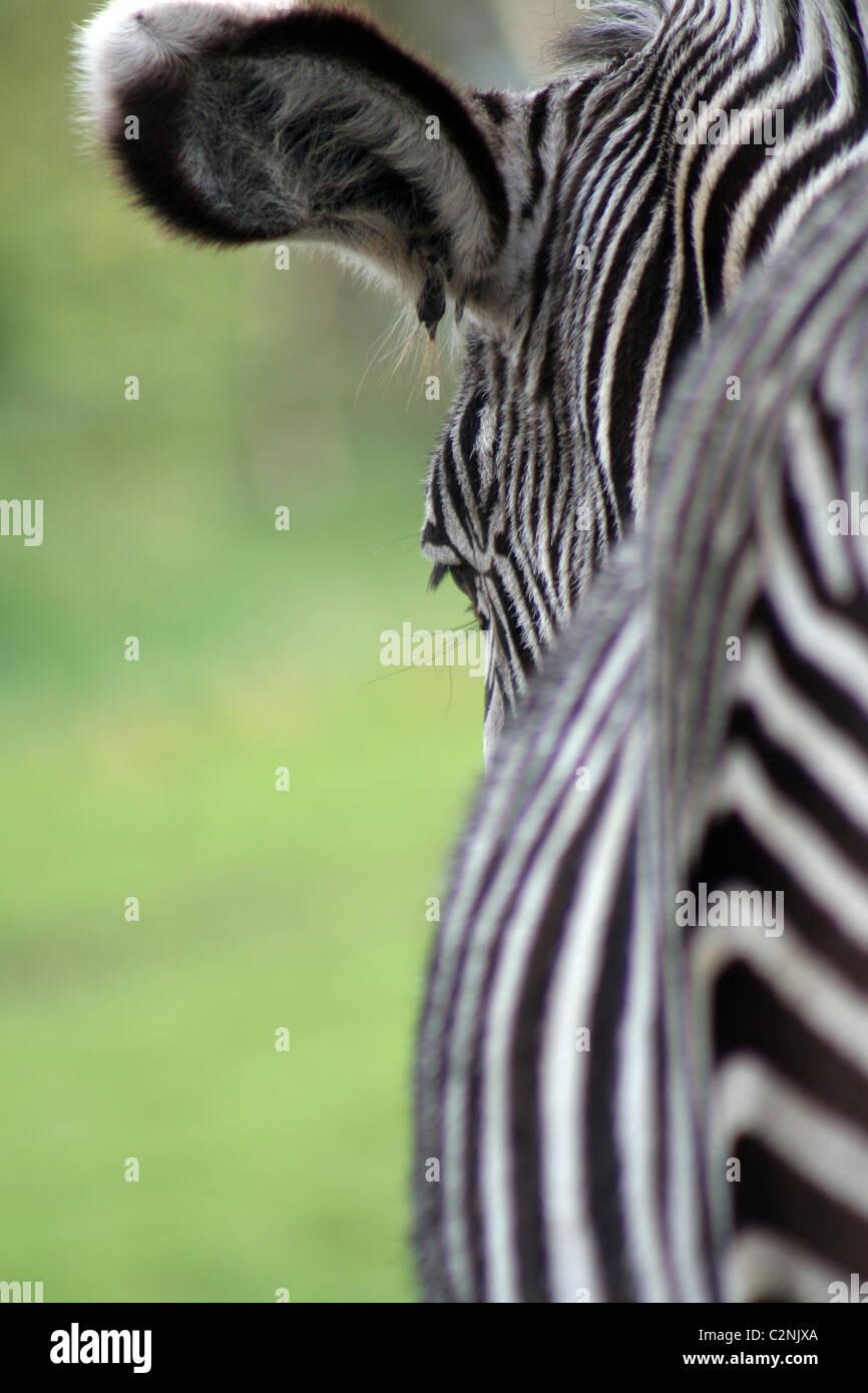 Burchells Zebra en West Midlands Safari Park, Inglaterra, Reino Unido. Imagen De Stock