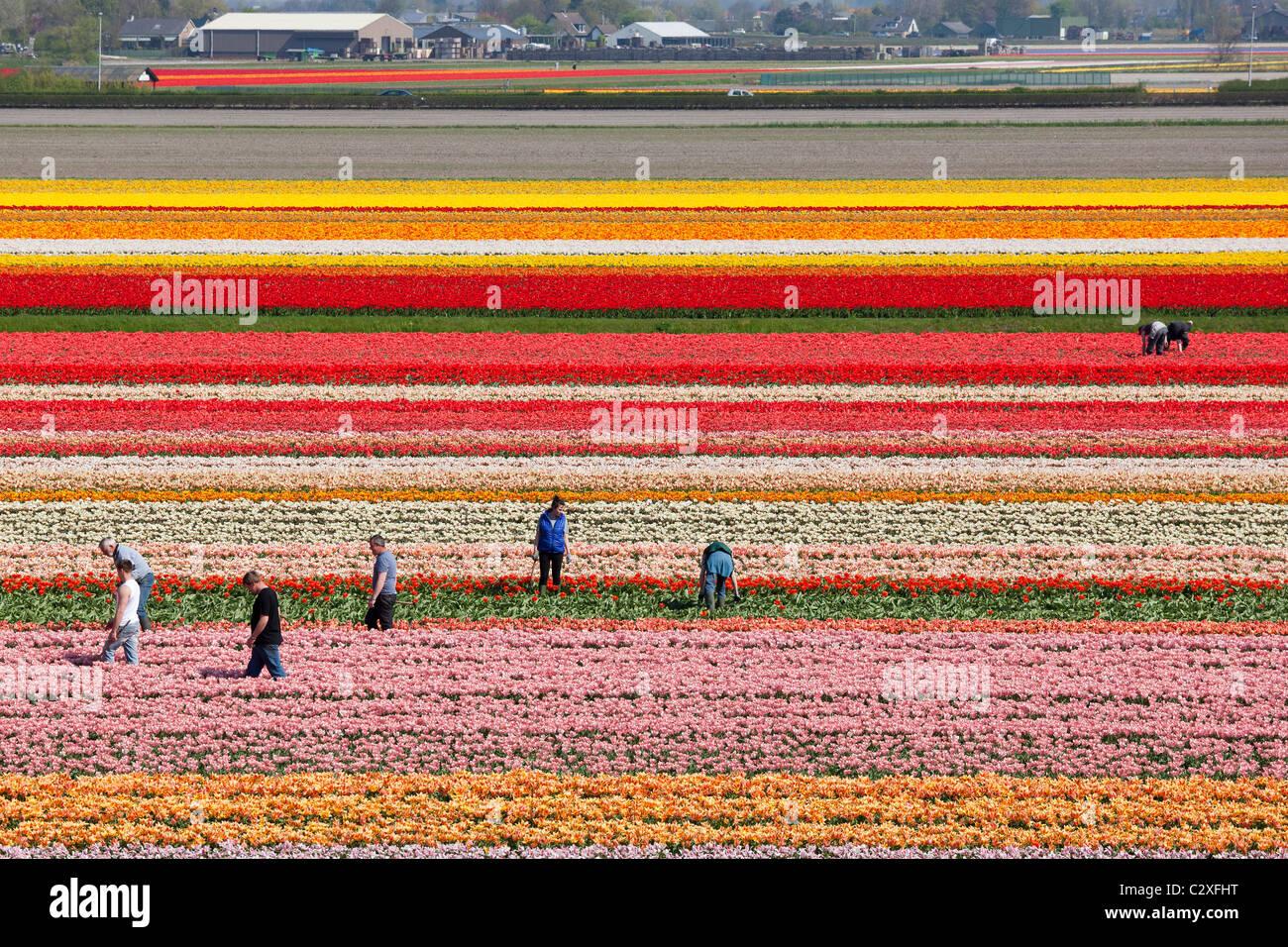 Los trabajadores agrícolas que trabajan, el desmalezado a mano, en campos de tulipanes holandeses cerca de Imagen De Stock