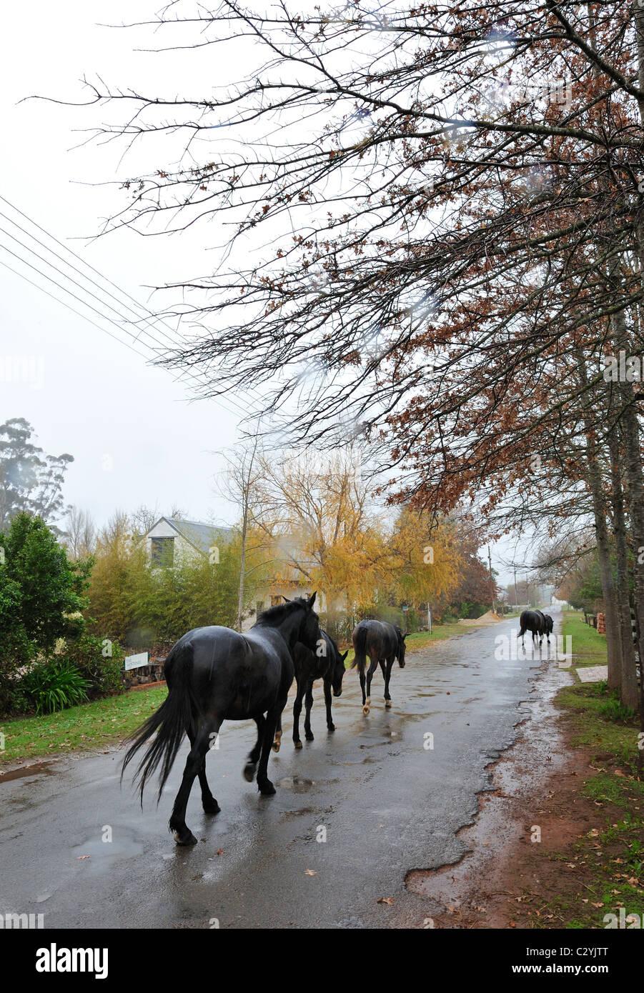Los caballos caminando por la calle de roble en la lluvia, el Grayton, Overberg, distrito de la provincia de Western Cape, Sudáfrica Foto de stock
