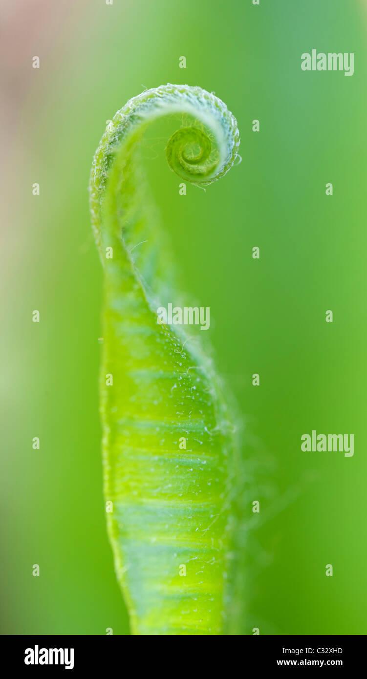 Asplenium scolopendrium. Fern fronda uncurling Harts lanza en primavera. UK Foto de stock
