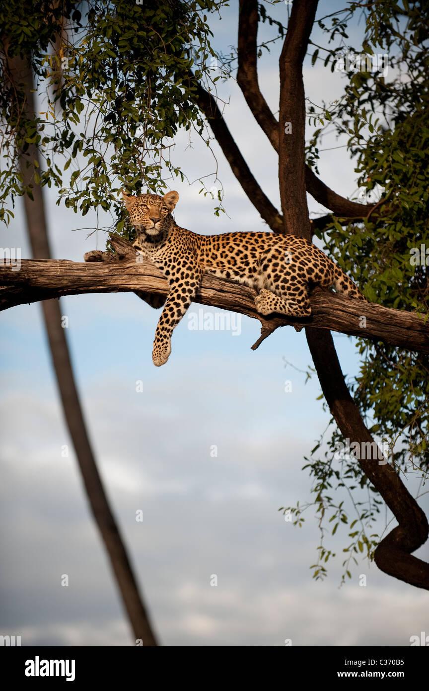 Mujeres africanas leopardo Panthera padres acostado en árbol en Mombo, Delta del Okavango Botswana en África Foto de stock