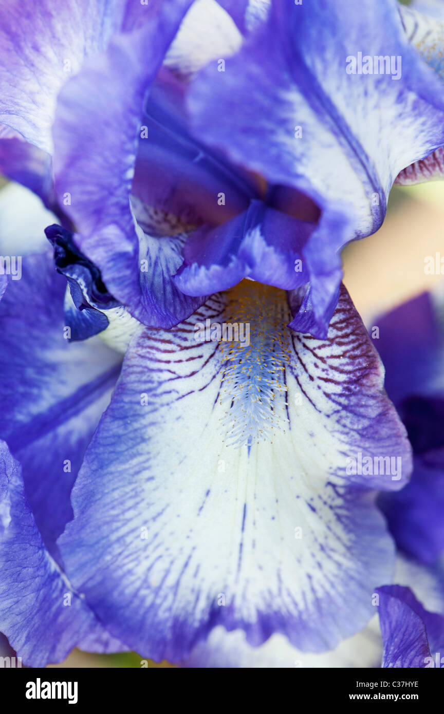 "Iris barbado intermedio ""Fancy"" artic flor Imagen De Stock"