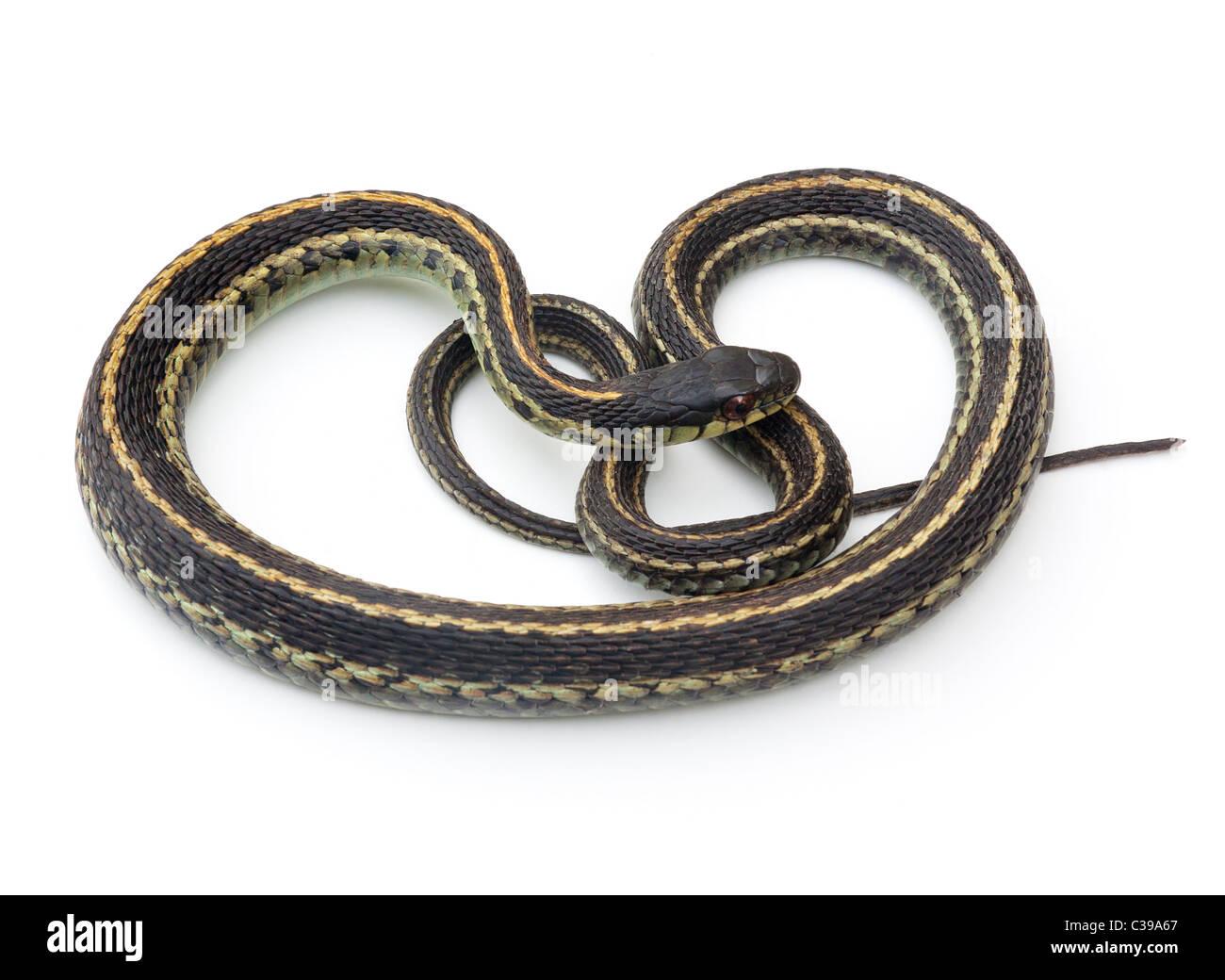 Garter Snake oriental (Thamnophis sirtalis) sobre un fondo blanco. Imagen De Stock