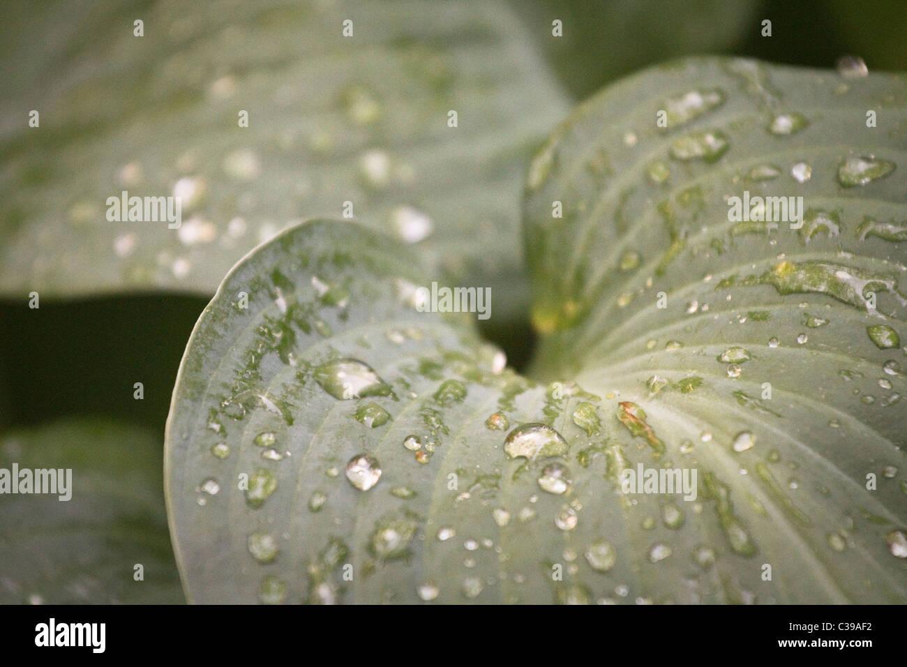 Hoja con gotas de rocío de agua Imagen De Stock