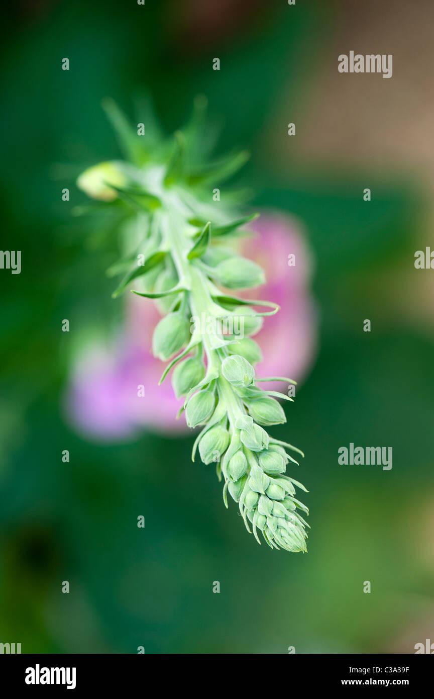 Digitalis purpurea. Mirando hacia abajo en una Foxglove con capullos de flores en la parte superior de la flor antes de abrir. DOF superficial. Foto de stock