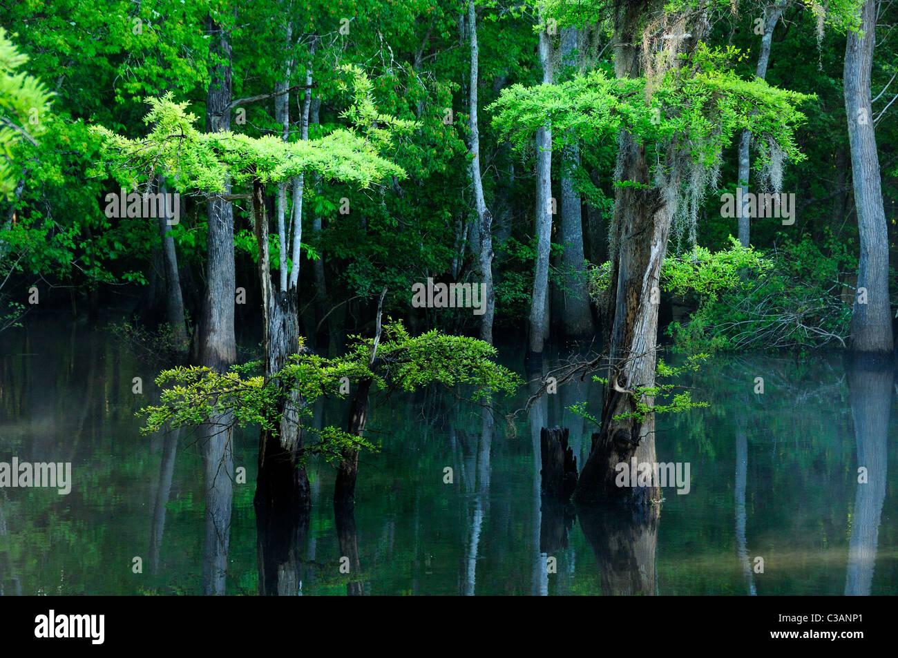 Ciprés Calvo, Taxodium distichum, Morrison Springs, Condado de Walton, Florida Imagen De Stock