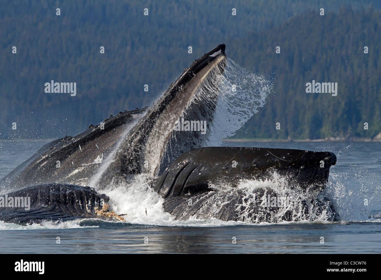 La ballena jorobada (Megaptera novaeangliae). Grupo lunge materna de krill (después de la burbuja-compensación). Foto de stock