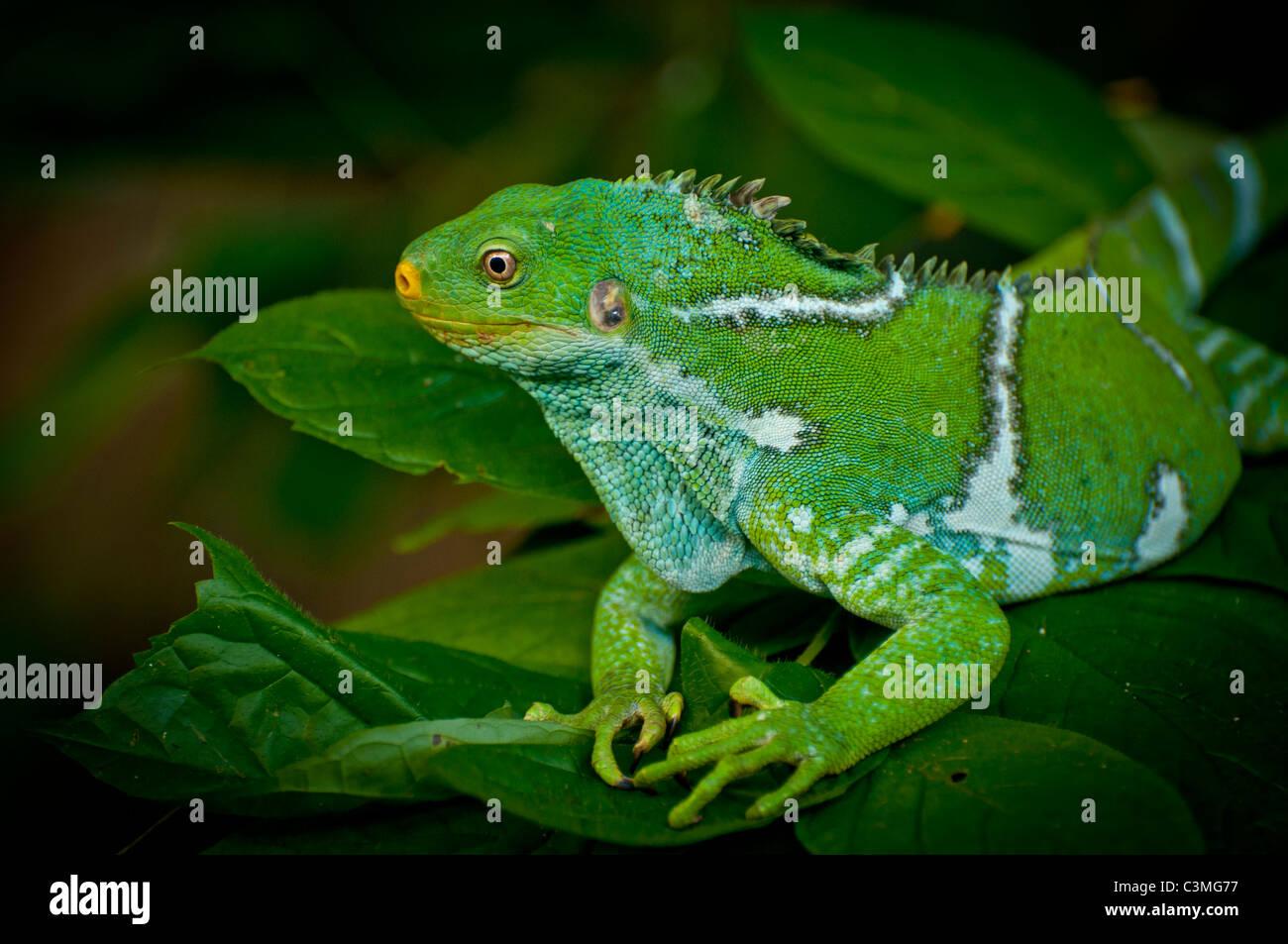 Crested Iguana, Kula Eco Park Sigatoka, Costa Coral ,Viti Levu Island Fiji Imagen De Stock