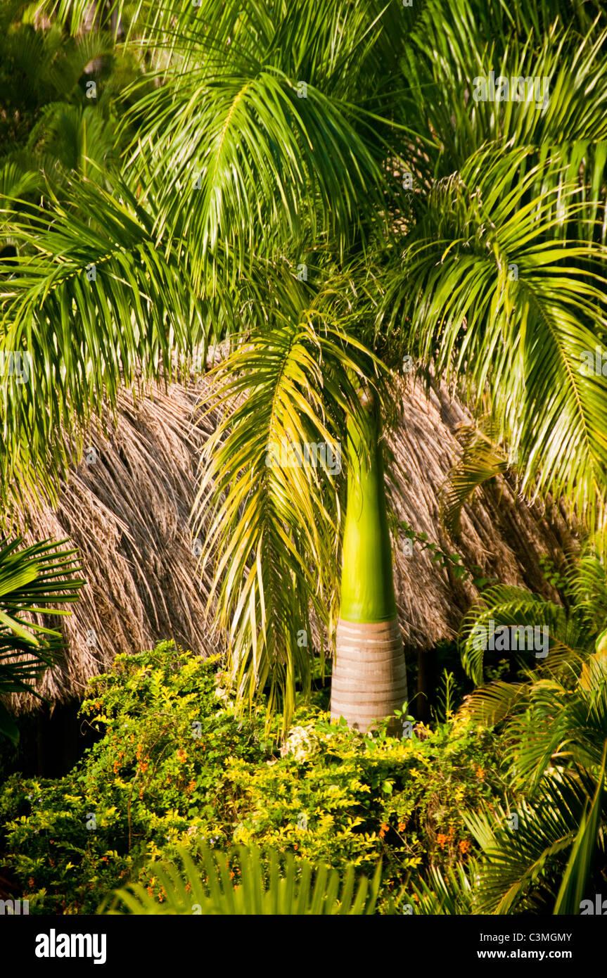 Royal Palm Tree en jardines tropicales, Outrrigger Lagoon Resort, en la Costa de Coral, Vita Levu, Fiyi Imagen De Stock