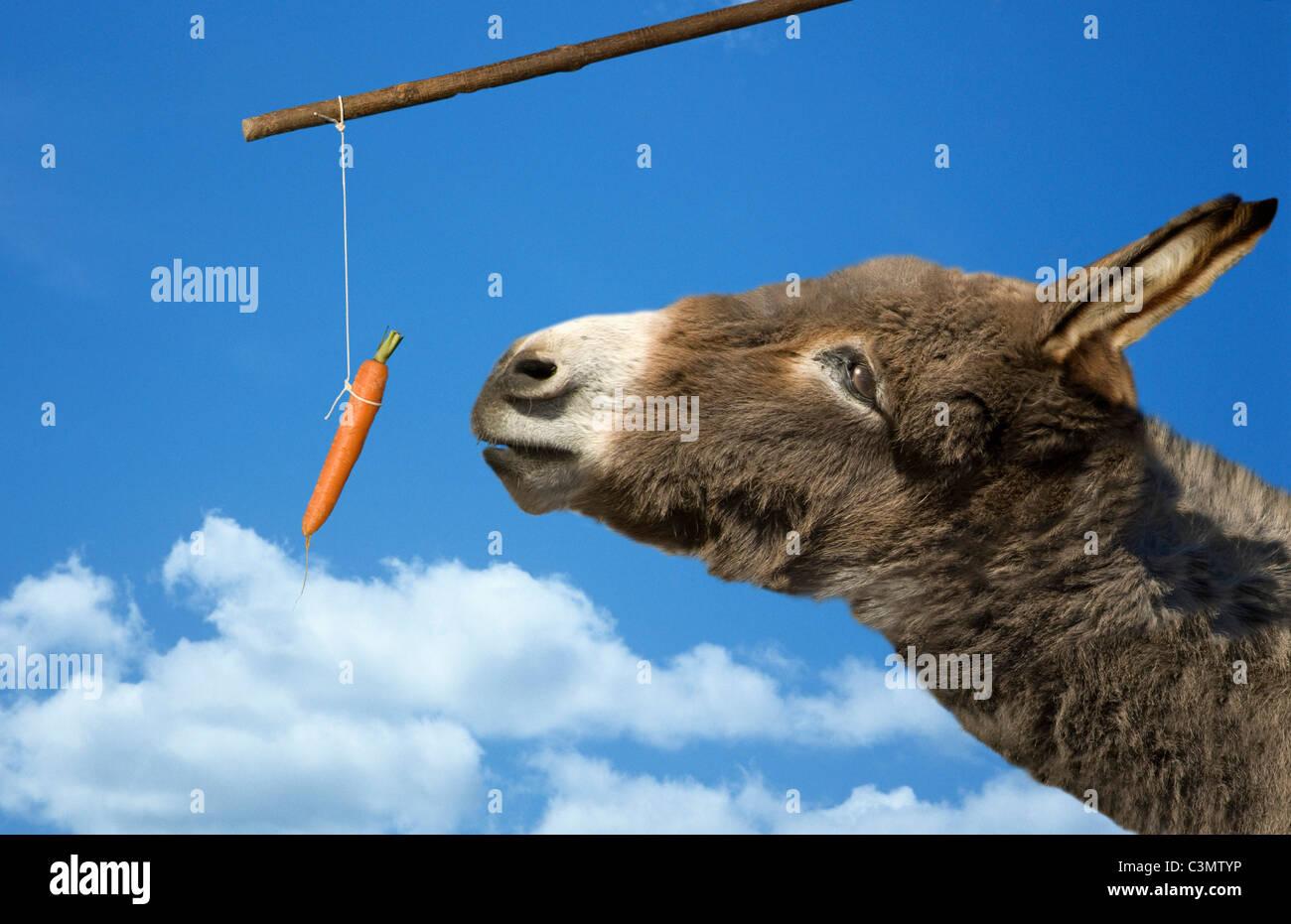 El Burro Y La Zanahoria Fotografia De Stock Alamy El gif animado de zanahoria burro ups perfecto para tus conversaciones. https www alamy es foto el burro y la zanahoria 36723338 html