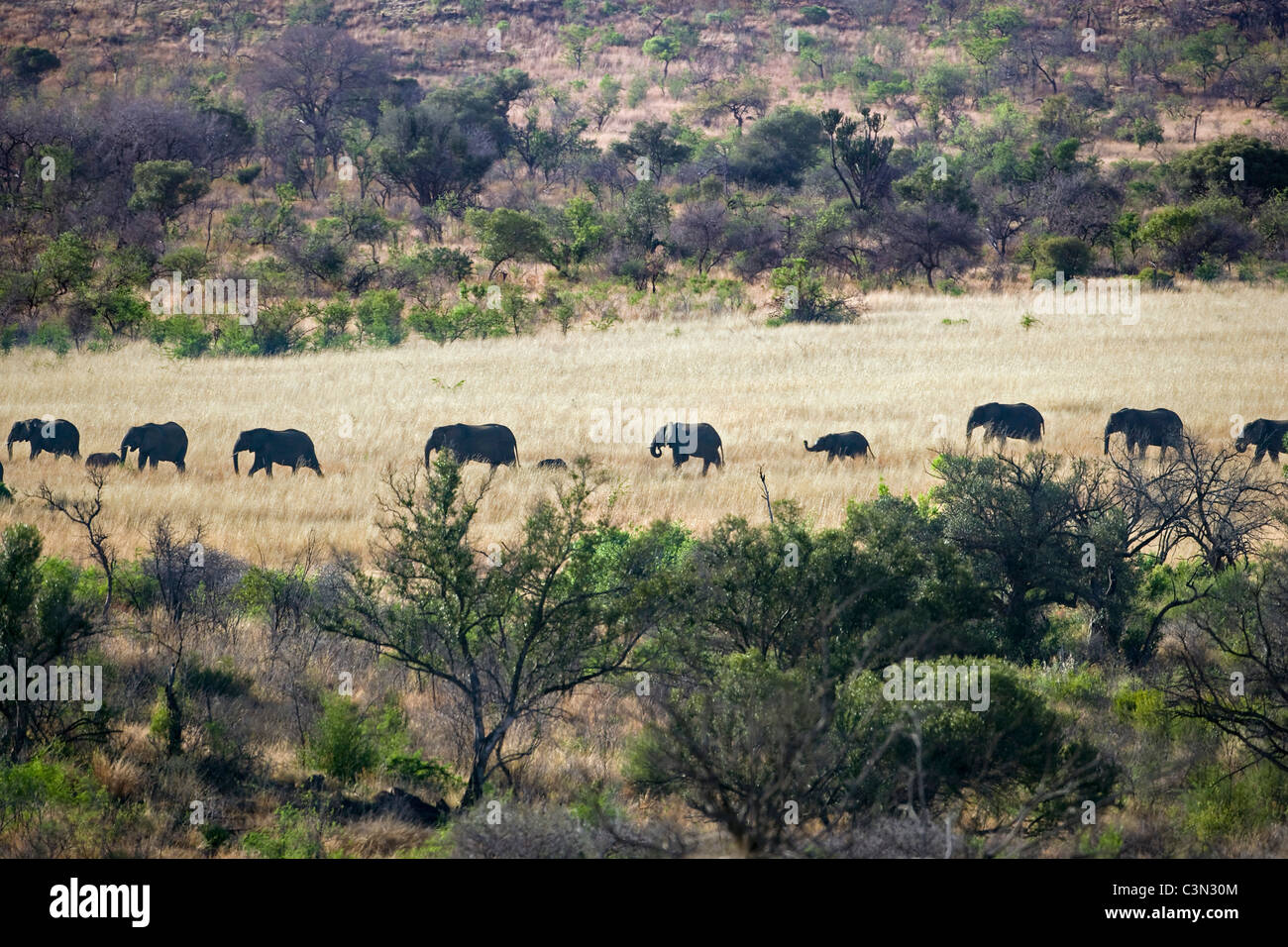Sudáfrica, cerca de Rustenburg, el Parque Nacional Pilanesberg. Manada de elefantes africanos, Loxodonta africana. Imagen De Stock