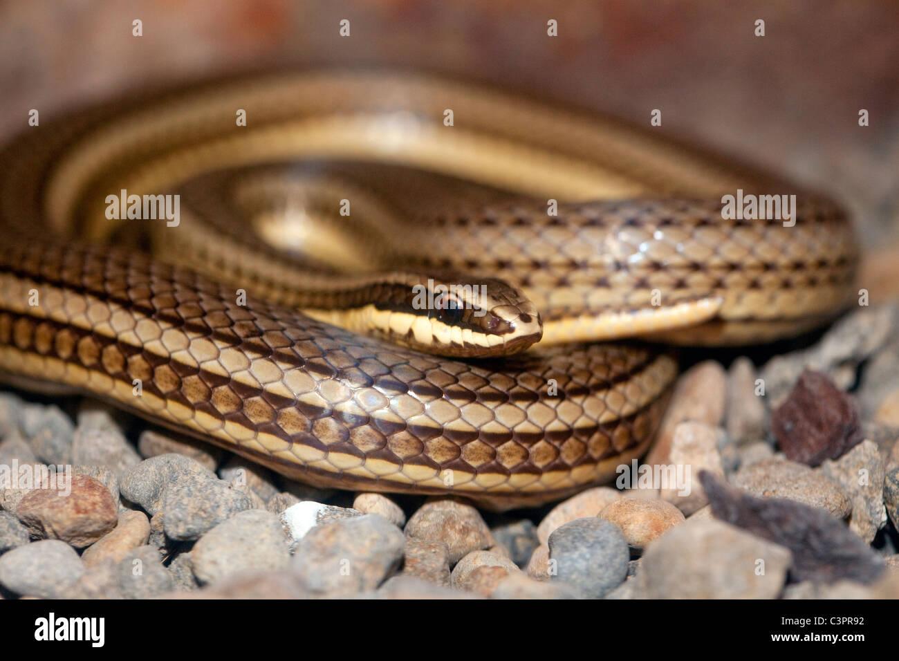 Camino común guarder (Conophis lineatus) enrollado en Costa Rica. Imagen De Stock