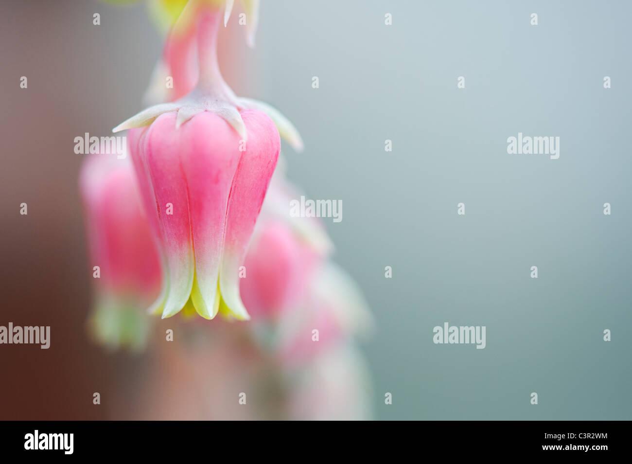 Echeveria sanchez mejoradae flores Imagen De Stock