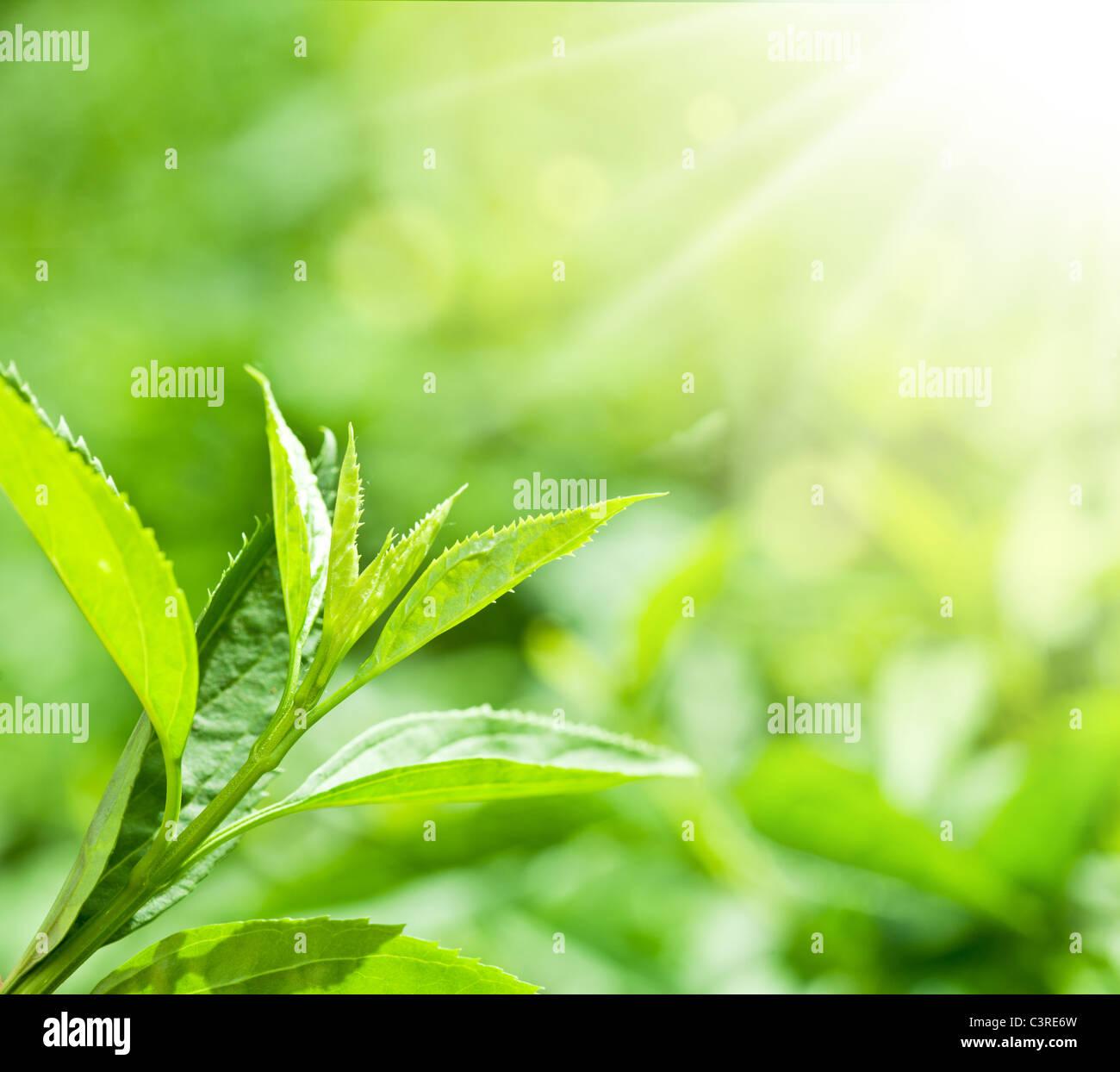 Las hojas de té en una plantación en los haces de luz solar. Imagen De Stock