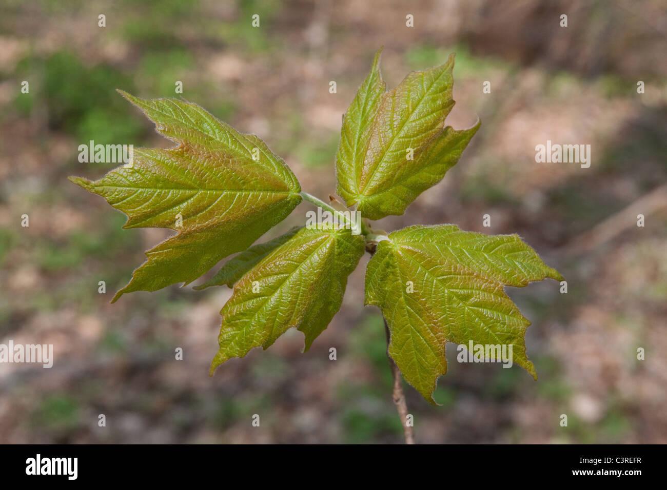Desarrollo de hojas de arce de Azúcar (Acer saccharum) El Muelle Este de los EE.UU. Imagen De Stock