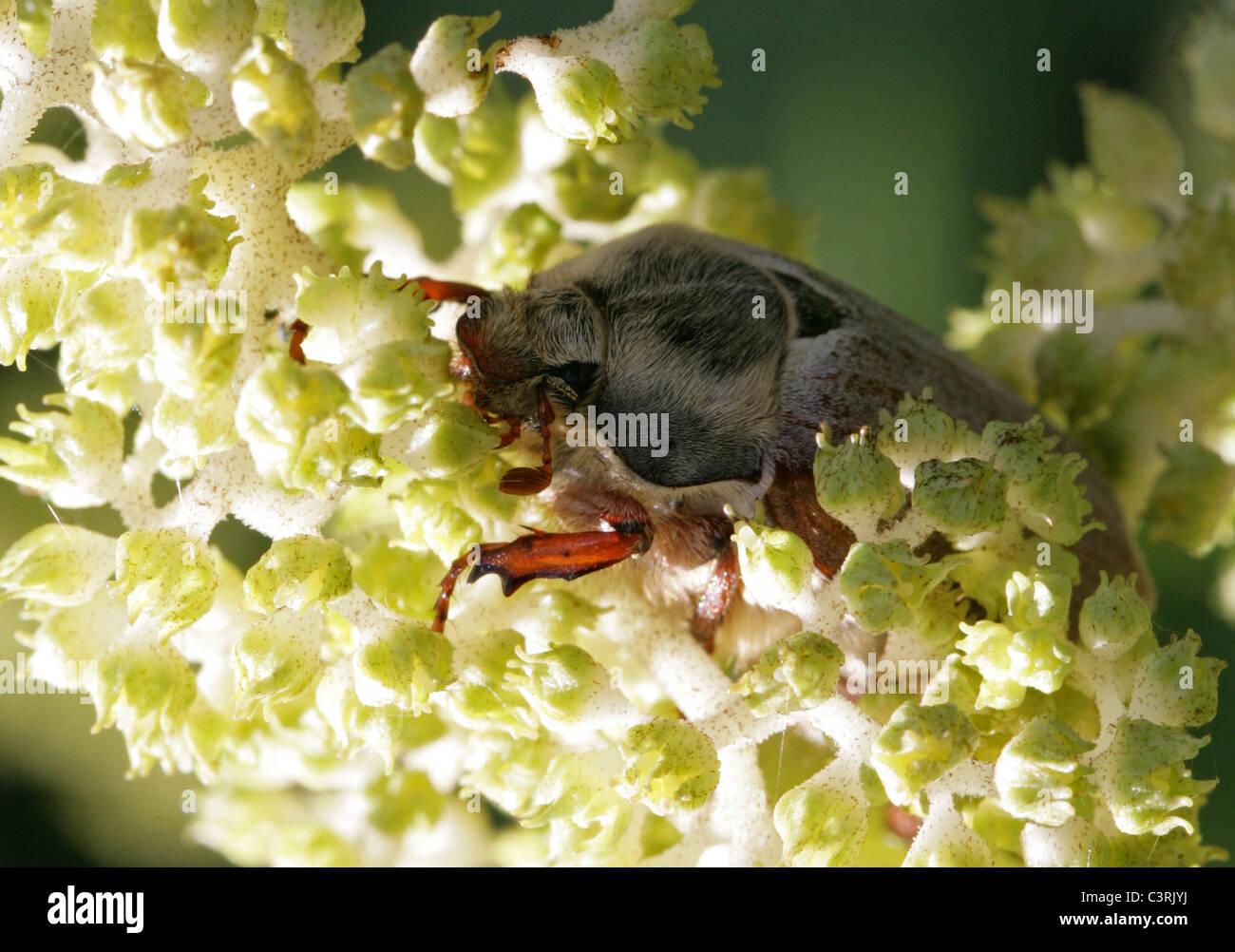Maybug, Melolontha melolontha o Cockchafer, Melolonthinae, Poxviridae, Coleoptera. Foto de stock