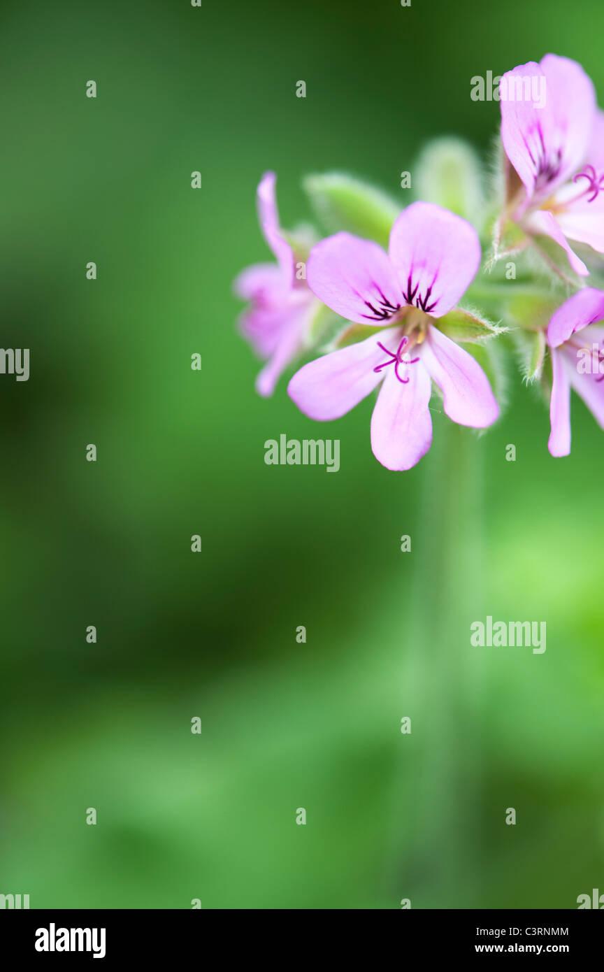 Pelargonium graveolens 'hoja redonda rosa'. Los geranios perfumados o anticuado rose geranium flores Imagen De Stock