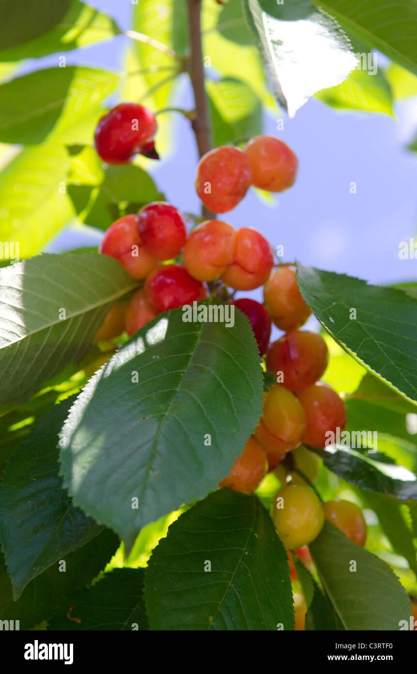 Las cerezas la maduración en el árbol. Foto de stock