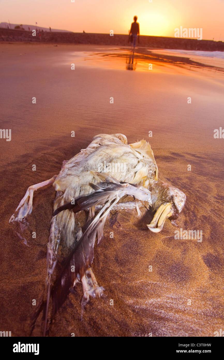 Aves marinas muertas del ave pardela PetrelPetrel Bulwer lavan encallado contaminación conservación del Imagen De Stock