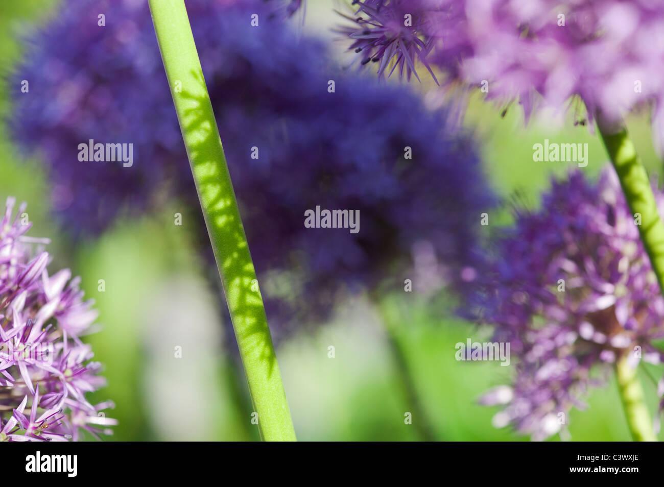 """Allium """"Globemaster'. Flores de tallos de luz solar y las sombras resumen Imagen De Stock"""