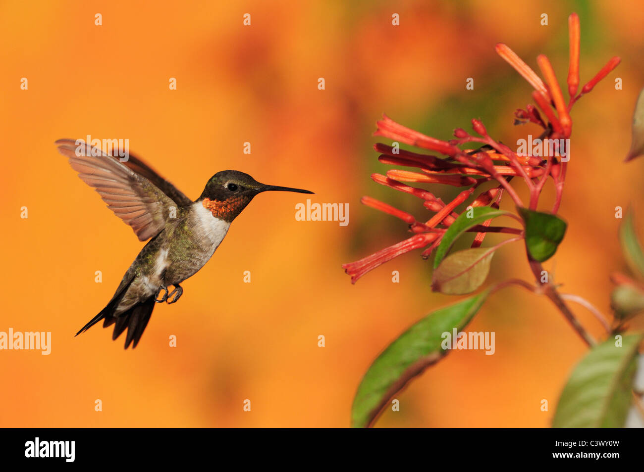 Ruby-throated Hummingbird (Archilochus colubris), macho en vuelo se alimentan en Firebush (Hamelia patens) Flor, Foto de stock
