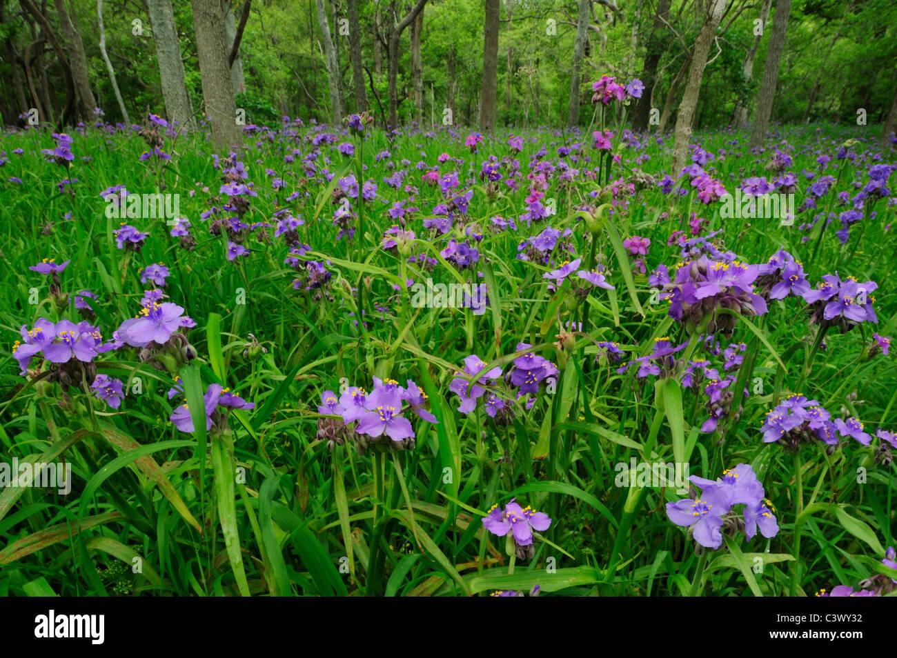 Prairie Spiderwort (Tradescantia occidentalis), floreciendo en el piso del bosque, Palmetto State Park, Condado Foto de stock