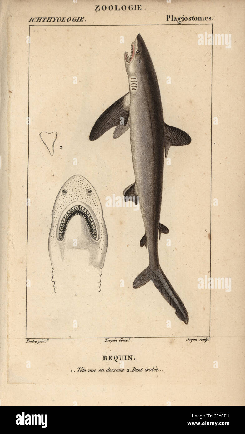 Shark Foto de stock