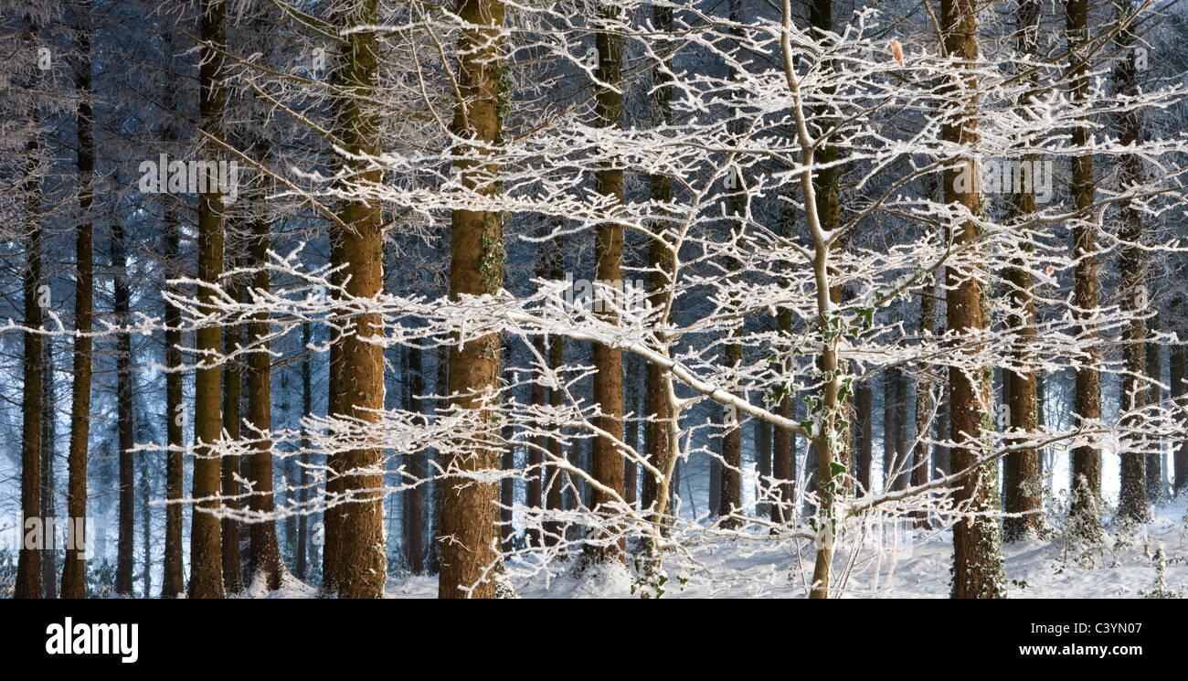 La nieve y el hielo cubierto de árboles en un bosque de pino, madera, Morchard Morchard Woodland, Devon, Inglaterra. Imagen De Stock