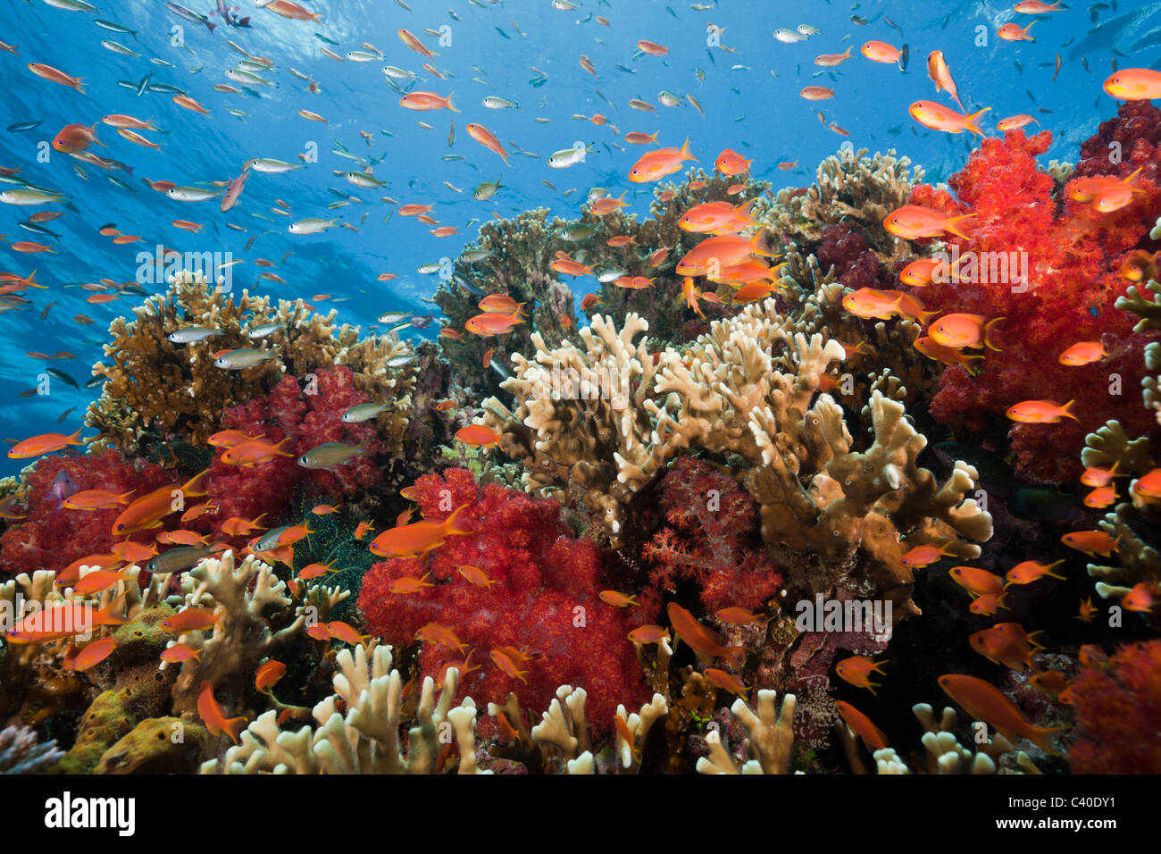 Lyretail Anthias en arrecifes de coral, de Pseudanthias squamipinnis, Gau, Lomaiviti, Fiji Imagen De Stock