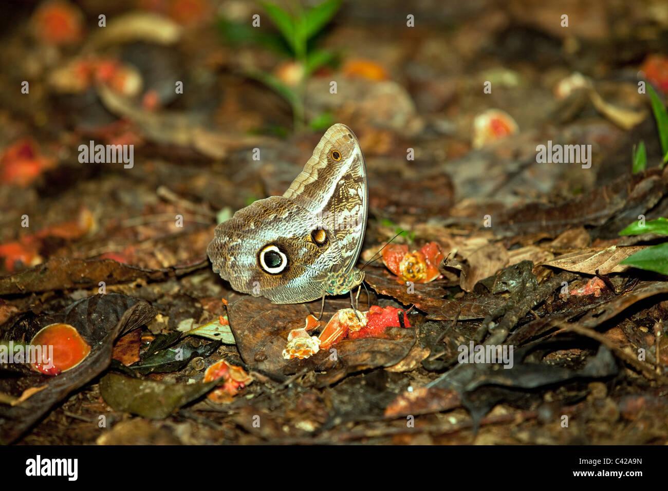 Perú, Cruz de Mayo, Parque Nacional Manu, montañas de Pantiacolla. Mariposa búho. ( Caligo Eurilochus ?) comer de fruta podrida. Foto de stock