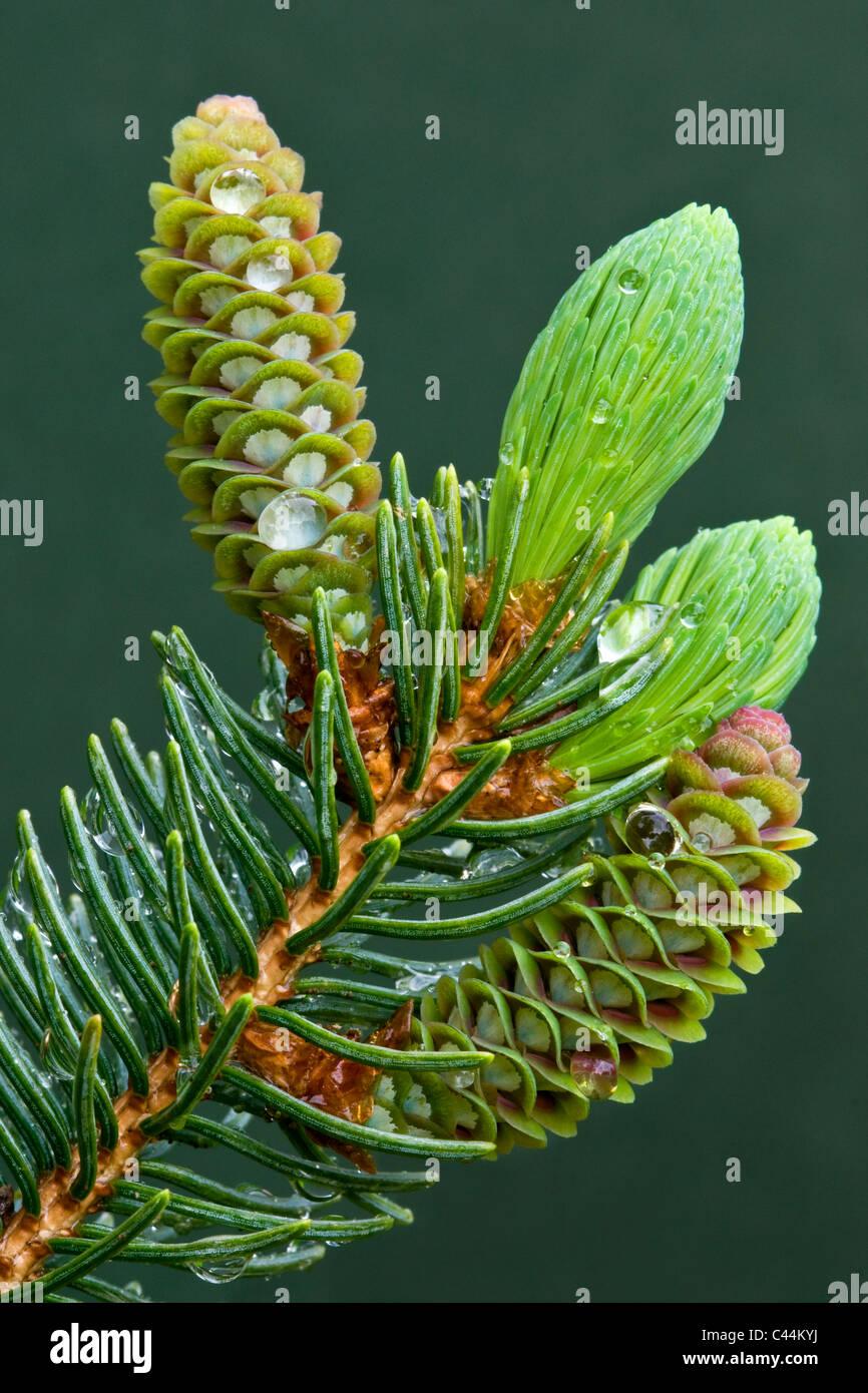 El desarrollo de los conos de la Picea Blanca Picea glauca después de la lluvia, Michigan, EE.UU. Imagen De Stock