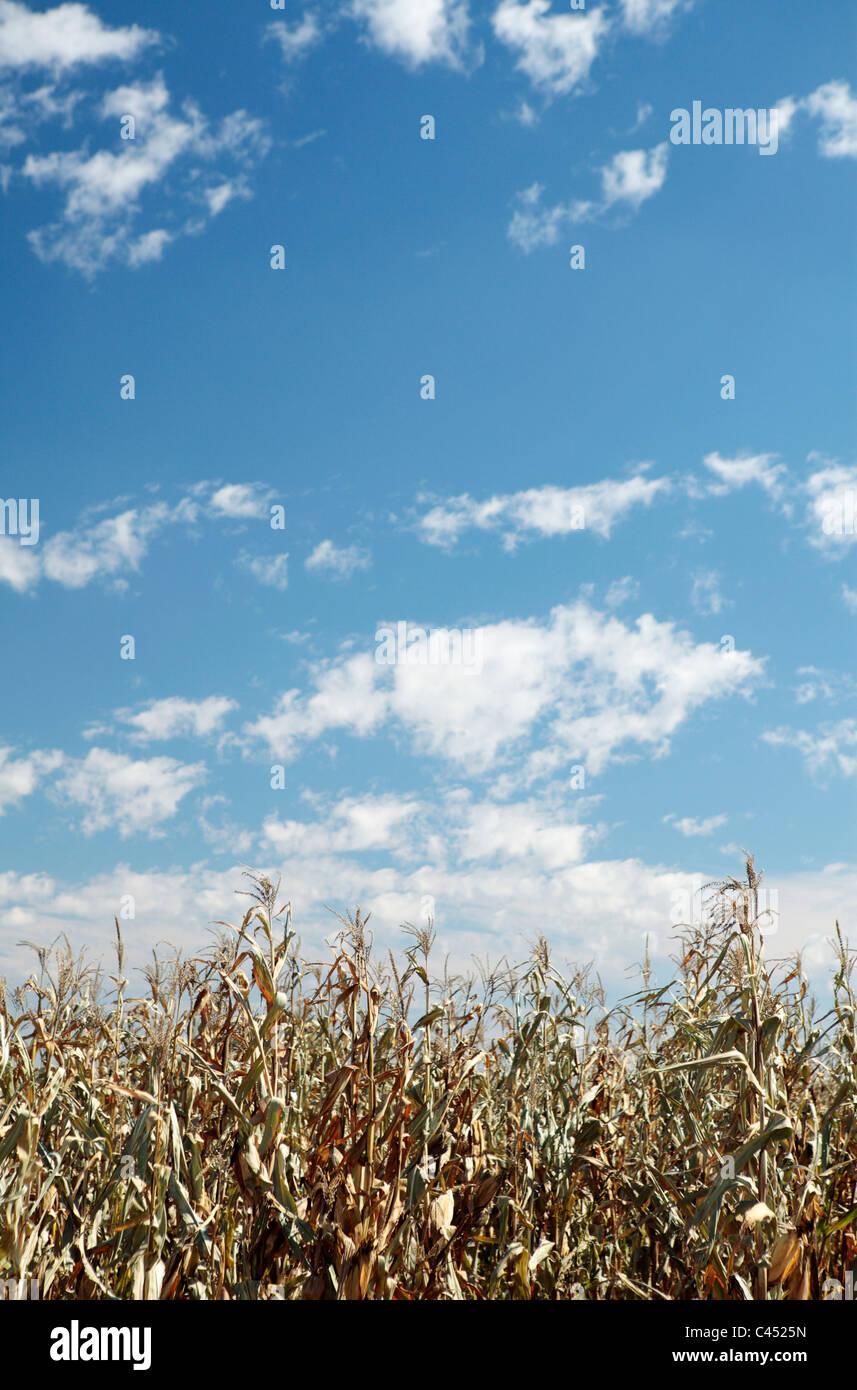 La sequía afectó la cosecha de maíz, Estado Libre, Sudáfrica Imagen De Stock