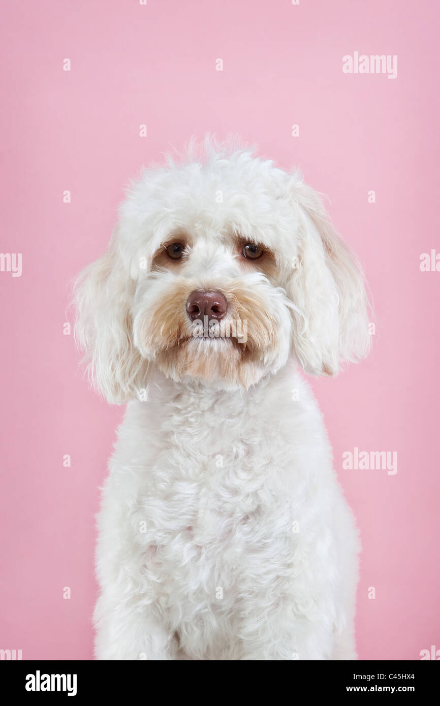 Perro maltés blancas mullidas sobre un fondo rosa studio. Imagen De Stock