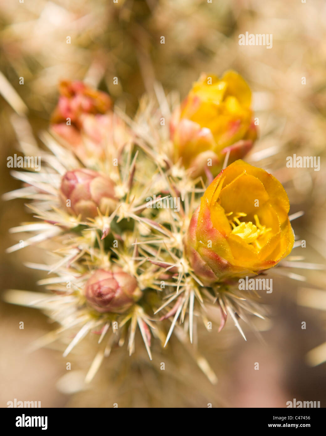 Cholla cactus en flor - Mojave, California, EE.UU. Foto de stock