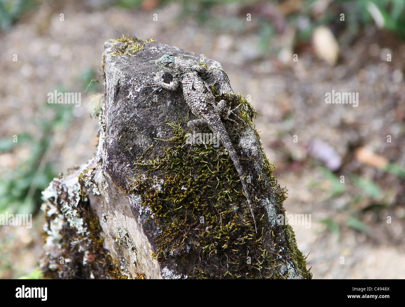 Un pequeño lagarto gris escamosa encontrados en Costa Rica Imagen De Stock